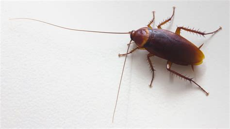 How Long Do Cockroaches Live?   Lifespan of a Cockroach